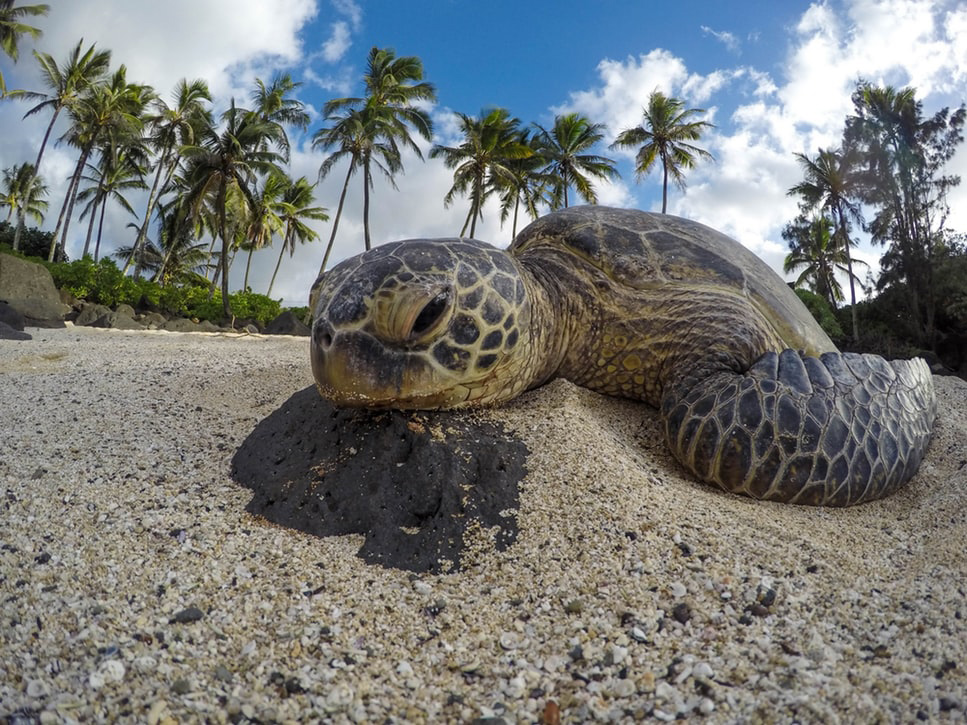 Sea turtle resting on a beach