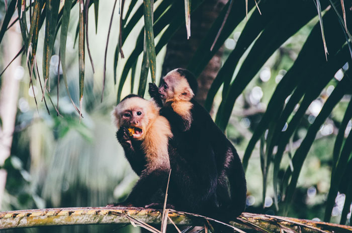 Costa Rican monkeys sitting on a jungle branch eating