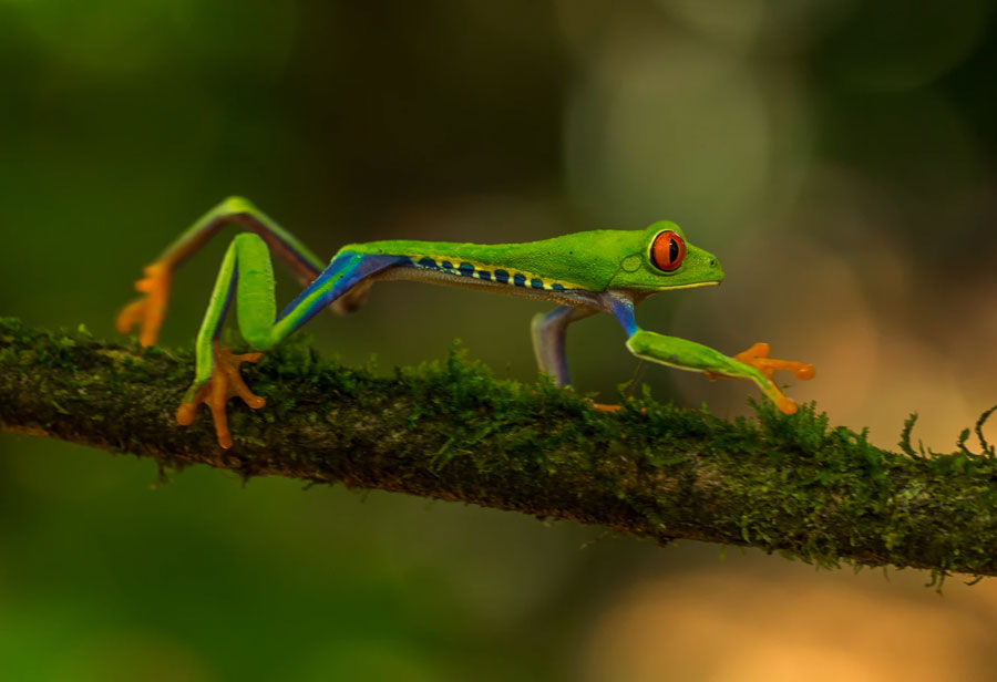 a red eyed tree frog moving on a tree branch