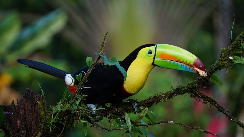 A keel-billed toucan in the jungle of Costa Rica