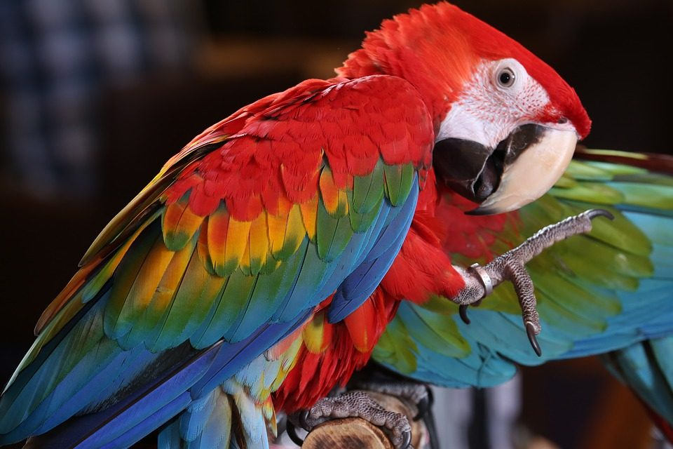 A scarlet macaw in the rainforest.